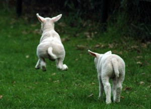 photo of lambs jumping
