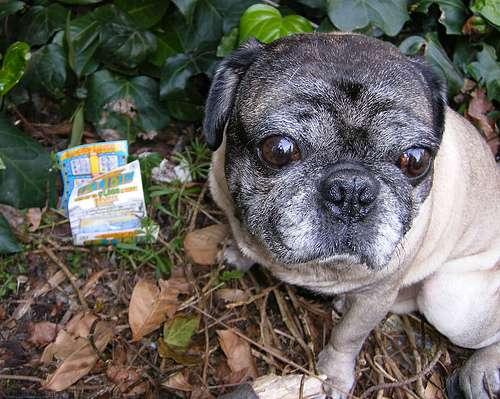 Lottery Pug