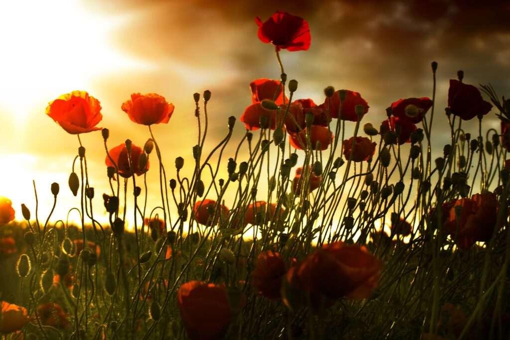 Virgo, poppies