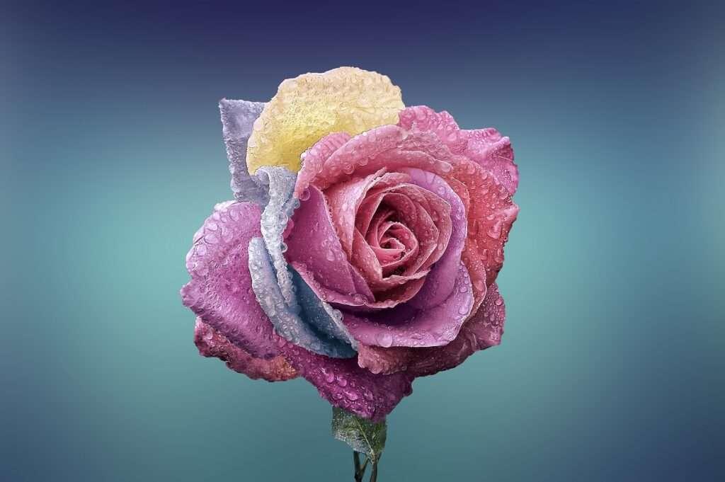 pink rose, Venus
