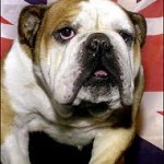 photo of british bulldog