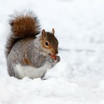 squirrel, snow, Virgo