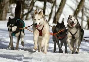 huskies, Aries