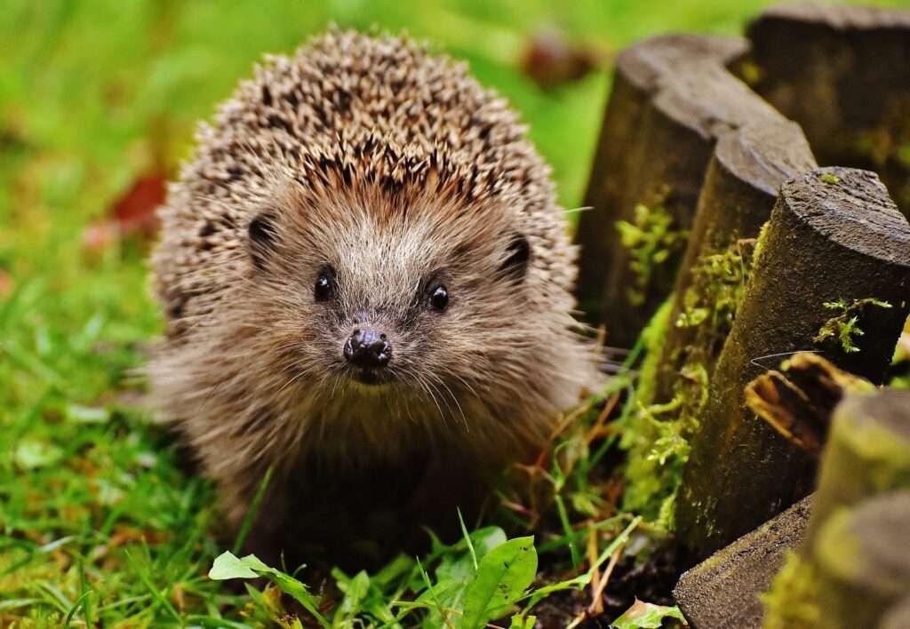 Virgo, hedgehog