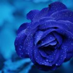 blue rose, Venus