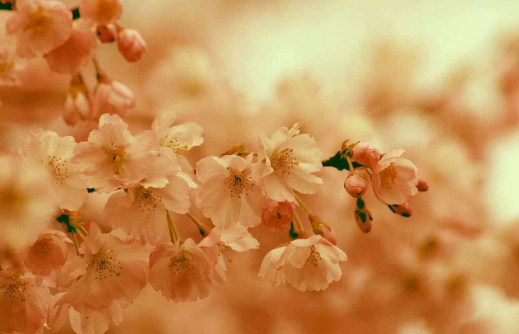 Leo, cherry blossom