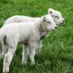 Gemini, twin lambs