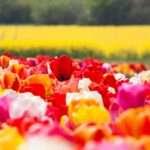 Leo, tulips
