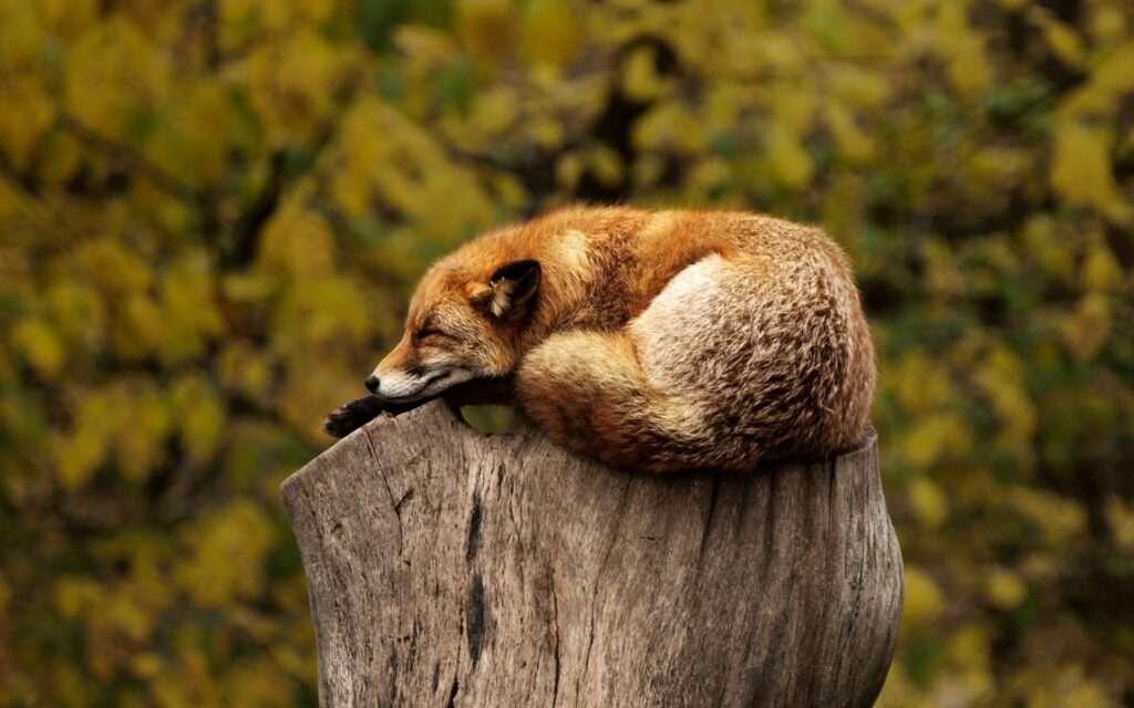 fox, Mercury retrograde