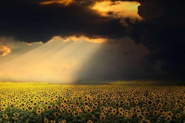 sunflowers, Leo