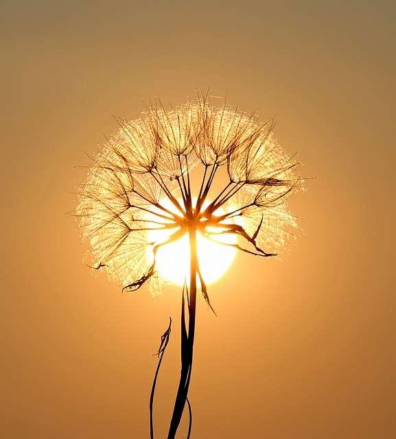 Leo, dandelion, sun