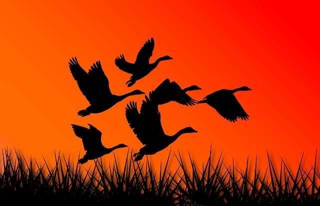 geese, Aries