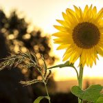 Leo July 2020 - Sunflower