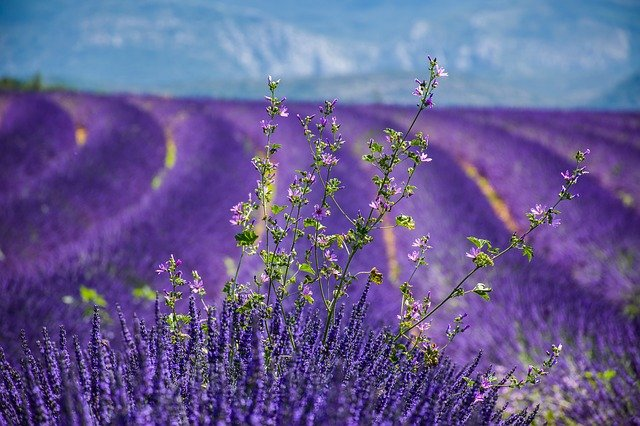 Sagittarius, April 2021, lavender fields